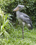 Shoe-billed Stork in jungle Royalty Free Stock Images