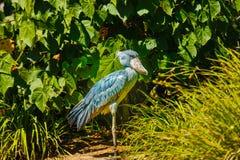 Shoe-billed Stork Stock Images