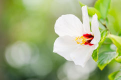 Shoe Flower or Hibiscus Stock Photos