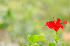 Shoe Flower or Hibiscus Stock Photo