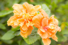 Flower, Hibiscus sosa chinensis, Chinese Rose flower. Shoe flower, Hibiscus sosa chinensis, Chinese Rose Stock Photo
