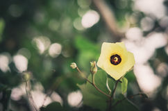 Shoe Flower or Hibiscus vintage Stock Photography