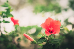 Shoe Flower or Hibiscus vintage Royalty Free Stock Images