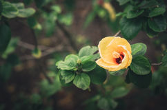 Shoe Flower or Hibiscus vintage Royalty Free Stock Image