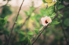 Shoe Flower or Hibiscus vintage Royalty Free Stock Photography