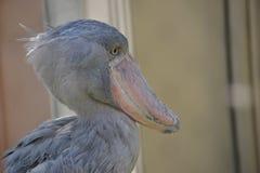 Shoebill鸟 免版税库存照片