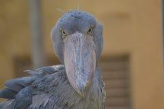 Shoebill鸟 免版税库存图片