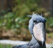 Shoebill Stock Image