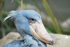Shoebill Fotografia de Stock Royalty Free