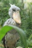 Shoebill arkivfoto