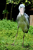 Shoebill Fotografia Royalty Free