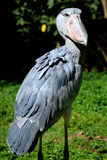 Shoebill Stockfoto