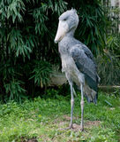 Shoebill Photographie stock libre de droits