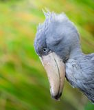 Shoebill, Abu Markub Royalty Free Stock Images
