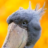 Shoebill, Abu Markub Stock Images