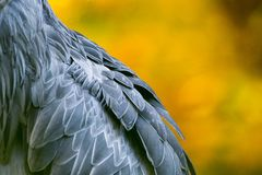 Shoebill, Abu Markub Stock Photos