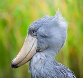 Shoebill, Abu Markub Royalty Free Stock Photos