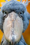 Shoebill, Abu Markub Stock Photography