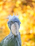 Shoebill, Abu Markub Royalty Free Stock Image