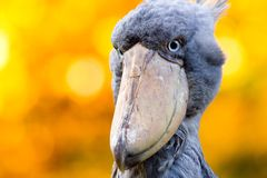 Shoebill, Abu Markub Royalty Free Stock Photo