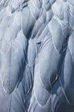 Shoebill, Abu Markub (Balaeniceps rex) Royalty Free Stock Photography