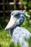 Shoebill, Abu Markub (rex de Balaeniceps) Images stock