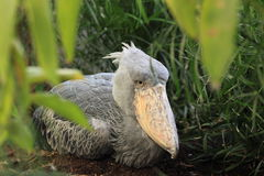 Shoebill. The adult shoebill sitting on the soil Royalty Free Stock Images