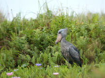 Shoebill in Africa Royalty Free Stock Image