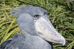 Shoebill africain #2 Photos libres de droits