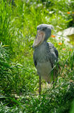 Shoebill (Balaeniceps rex) Royalty-vrije Stock Fotografie