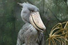 Shoebill, Balaeniceps rex Στοκ φωτογραφία με δικαίωμα ελεύθερης χρήσης