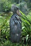 Shoebill (Balaeniceps rex) Στοκ εικόνα με δικαίωμα ελεύθερης χρήσης