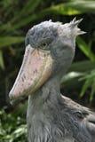 Shoebill (Balaeniceps rex) Lizenzfreie Stockfotografie