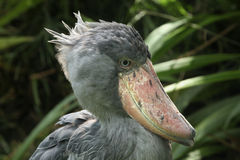 Shoebill (Balaeniceps rex) Royalty-vrije Stock Foto