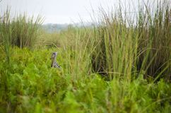 Shoebill in flight. The shoebill Balaeniceps rex also known as whalehead or shoe-billed stork, is a very large stork-like bird. It derives its name from its Royalty Free Stock Images