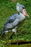 Shoebill. The shoebill (Balaeniceps rex) also known as whalehead or shoe-billed stork, is a very large stork-like bird. It lives in tropical east Africa in large Royalty Free Stock Photography