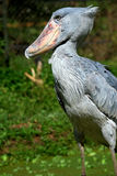 Shoebill. The shoebill (Balaeniceps rex) also known as whalehead or shoe-billed stork, is a very large stork-like bird. It lives in tropical east Africa in large Stock Photos