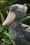 Shoebill (Balaeniceps rex). Also known as the whalehead or shoe-billed stork. Wildlife animal Royalty Free Stock Images