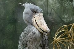 Shoebill, Balaeniceps rex Royalty Free Stock Photo