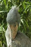 Shoebill balaeniceps rex Royalty Free Stock Images
