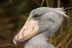 Shoebill (Balaeniceps rex). Shoebill in Jurong Bird Park in Singapore Stock Image