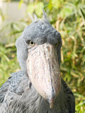 Shoebill (Balaeniceps rex) Royalty Free Stock Photography