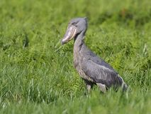 Shoebill, Balaeniceps rex. Single bird on grass, Uganda, August 2018 royalty free stock photo