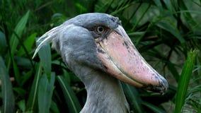 A shoebill Balaeniceps rex stork stock footage