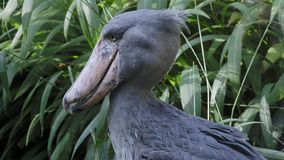 A shoebill Balaeniceps rex stork standing surrounded by plants stock footage