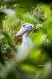 Shoebill (Balaenicepsrex) Arkivfoto