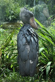 Shoebill (Balaenicepsrex) Royaltyfri Bild