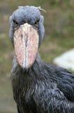 Shoebill bird. Closeup of a shoebill bird, also known as a whalehead or shoe-billed stork Stock Photos