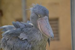 Shoebill bird. Ueno Zoo - Tokyo , Japan :   Portrait Shoebill bird Royalty Free Stock Image