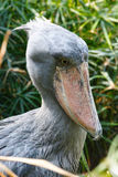 The shoebill closeup. Royalty Free Stock Image